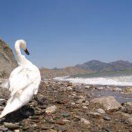 Nude Ocean Swan Beauty